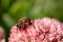 Macro de la abeja Imágenes de archivo libres de regalías