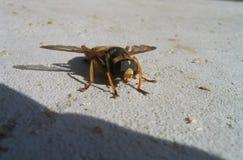 Macro de la abeja Foto de archivo libre de regalías