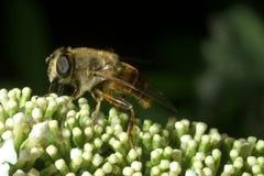 Macro de la abeja Foto de archivo