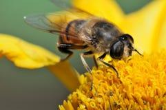 Macro de la abeja Fotos de archivo libres de regalías