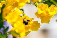 Macro de la abeja (abejorro) y de la flor amarilla Imagenes de archivo