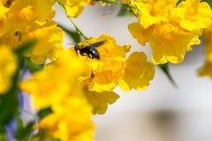 Macro de la abeja (abejorro) y de la flor amarilla Foto de archivo libre de regalías