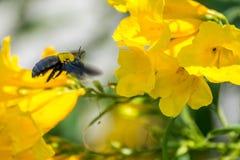 Macro de la abeja (abejorro) y de la flor amarilla Imagen de archivo libre de regalías