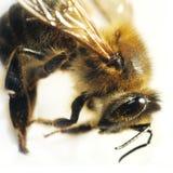 Macro de la abeja aislada Imágenes de archivo libres de regalías