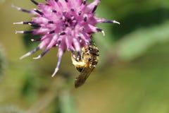 Macro de la abeja caucásica rayada marrón clara pendiente Macropis Imagenes de archivo