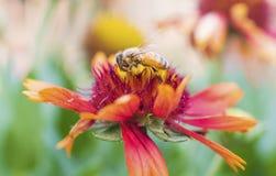 Macro de la abeja con las flores frescas Fotos de archivo