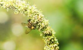 Macro de la abeja con las flores frescas Imágenes de archivo libres de regalías