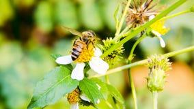 Macro de la abeja con las flores frescas Fotos de archivo libres de regalías