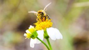 Macro de la abeja con las flores frescas Foto de archivo libre de regalías