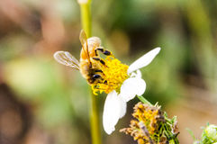 Macro de la abeja con las flores frescas Fotografía de archivo