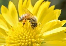 Macro de la abeja con las flores frescas Imagenes de archivo