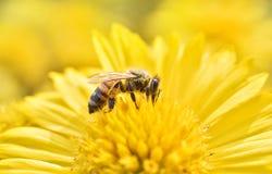 Macro de la abeja con las flores frescas Imagen de archivo