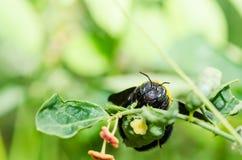 Macro de la abeja de carpintero en la naturaleza Imagen de archivo