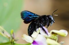 Macro de la abeja de carpintero en la naturaleza Fotos de archivo libres de regalías