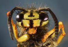 Macro de la abeja de la chaqueta amarilla Foto de archivo libre de regalías