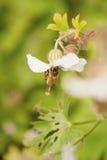 Macro de la abeja de la miel Fotografía de archivo libre de regalías