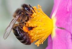 Macro de la abeja de la miel Imagen de archivo libre de regalías