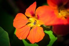 Macro de la abeja de la miel con la flor anaranjada en bosque, imagen del cierre encima de la abeja de la miel y flor anaranjada Fotografía de archivo