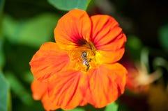 Macro de la abeja de la miel con la flor anaranjada en bosque, imagen del cierre encima de la abeja de la miel y flor anaranjada Foto de archivo libre de regalías