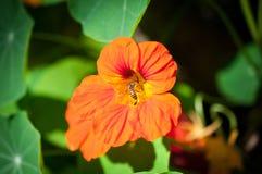 Macro de la abeja de la miel con la flor anaranjada en bosque, imagen del cierre encima de la abeja de la miel y flor anaranjada Foto de archivo