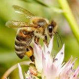 Macro de la abeja de la miel en la flor Imagen de archivo libre de regalías
