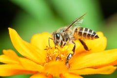 Macro de la abeja de la miel que come el néctar Fotografía de archivo libre de regalías