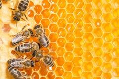 Macro de la abeja de trabajo en honeycells. Imágenes de archivo libres de regalías