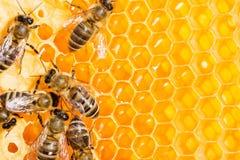 Macro de la abeja de trabajo en honeycells. Fotografía de archivo