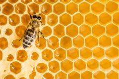 Macro de la abeja de trabajo en honeycells. Imagenes de archivo