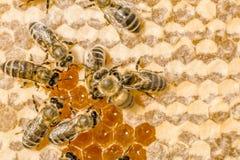 Macro de la abeja de trabajo en honeycells. Fotos de archivo