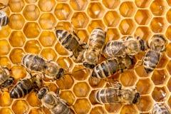 Macro de la abeja de trabajo en honeycells. Fotos de archivo libres de regalías