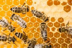Macro de la abeja de trabajo en honeycells. Foto de archivo libre de regalías