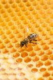 Macro de la abeja de trabajo en honeycells. Fotografía de archivo libre de regalías
