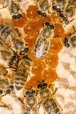 Macro de la abeja de trabajo en honeycells Imágenes de archivo libres de regalías