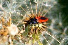 Macro de la abeja del insecto Fotografía de archivo libre de regalías