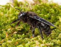 Macro de la abeja del perforador en lado-vista del musgo Fotografía de archivo