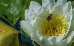Macro de la abeja del vuelo Foto de archivo libre de regalías
