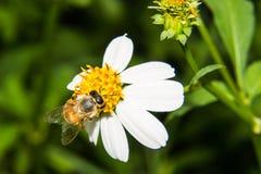 Macro de la abeja en la flor Fotos de archivo libres de regalías