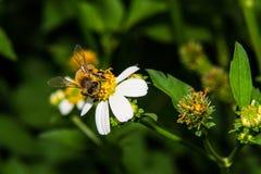 Macro de la abeja en la flor Foto de archivo