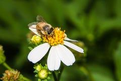 Macro de la abeja en la flor Imágenes de archivo libres de regalías