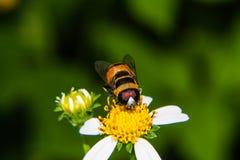 Macro de la abeja en la flor Imagen de archivo libre de regalías