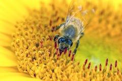 Macro de la abeja en la flor Imagenes de archivo