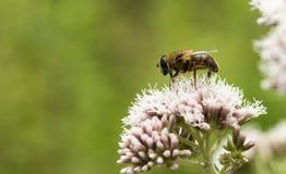 Macro de la abeja en la flor salvaje rosada Foto de archivo libre de regalías
