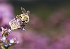 Macro de la abeja en la pequeña flor Imagenes de archivo