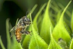 Macro de la abeja en la planta verde Imágenes de archivo libres de regalías
