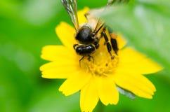 Macro de la abeja en naturaleza verde Fotos de archivo