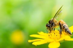 Macro de la abeja en naturaleza verde Imágenes de archivo libres de regalías