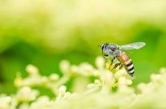 Macro de la abeja en naturaleza verde Imagen de archivo