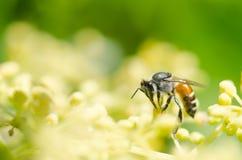 Macro de la abeja en naturaleza verde Fotografía de archivo libre de regalías