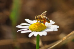 Macro de la abeja en naturaleza verde Fotografía de archivo